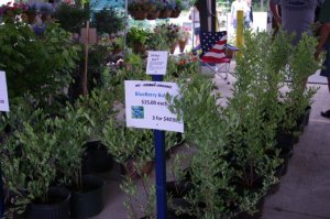 N.C. blueberry bushes