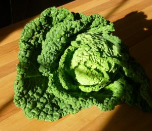 My beautiful savoy cabbage