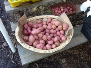 Carlea Farms red potatoes