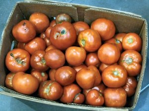 Huge box of delicious, bruised tomatoes