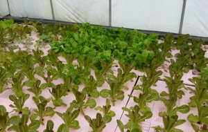 Hydroponic lettuces