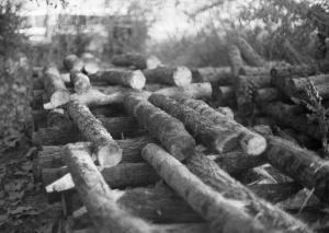 Shitake logs