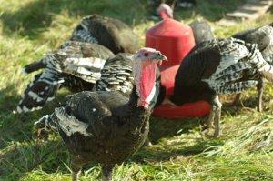 Happy Bronze turkeys