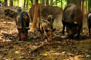 Ossabaw hogs - picture credit goes to New Town Farms