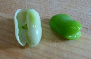 A fava bean blanched and cooled; pull off the lighter outer skin.