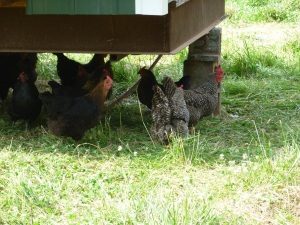 Heritage laying hens.