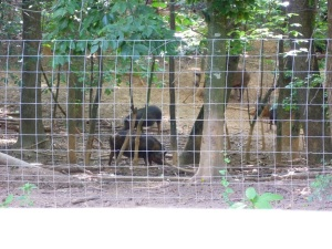 Ossabaw hogs cooling off in the woods